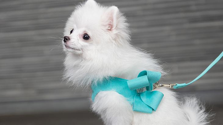 松本秀樹のVR犬図鑑!小型犬パピー編(ヨークシャー・テリア、ポメラニアン、シー・ズー、トイ・プードル):3枚目