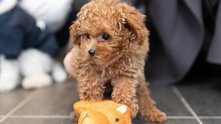 松本秀樹のVR犬図鑑!小型犬パピー編(ヨークシャー・テリア、ポメラニアン、シー・ズー、トイ・プードル):5枚目